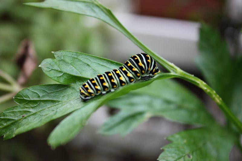 Caterpillar 018