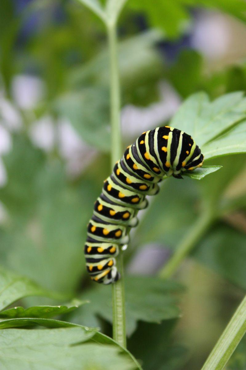 Caterpillar 008