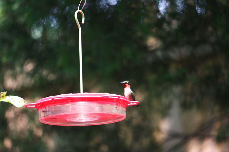 Hummingbird 003