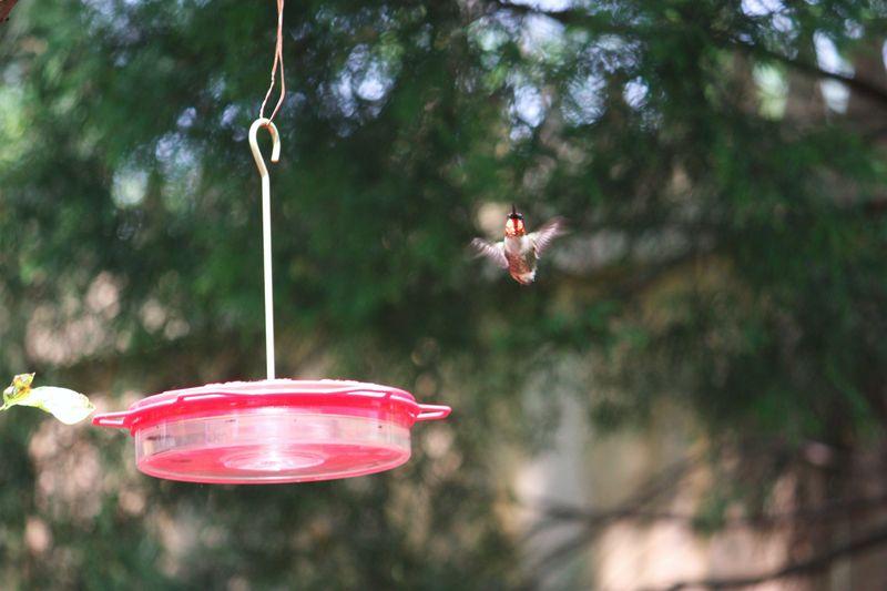 Hummingbird 005