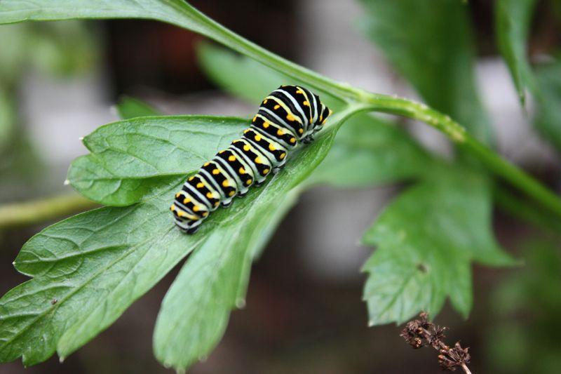 Caterpillar 004
