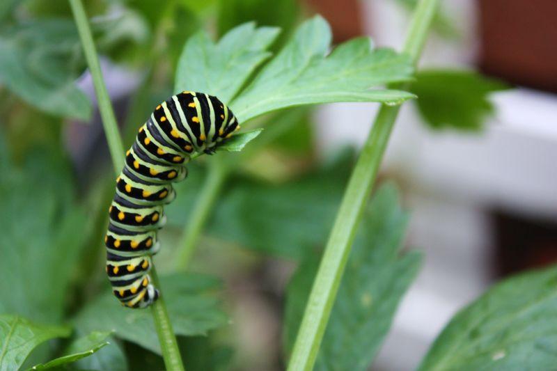 Caterpillar 027
